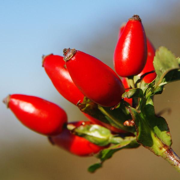 Hagebuttenpulver hilft gegen Gelenkschmerzen und Gelenkentzündungen