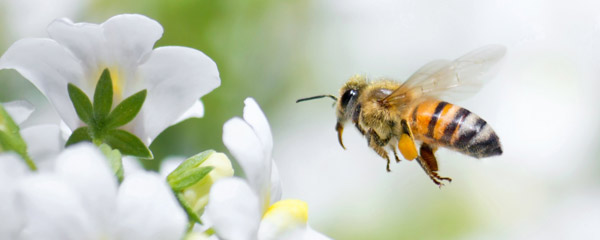 api_biene_pollen_honig_propolis_blume_dollar